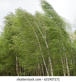 birch trees bending under storm
