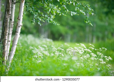 Birch trees (Betula pendula) and flowering cow parsley (Anthriscus sylvestris). Focus on foreground tree trunk, shallow depth of field.