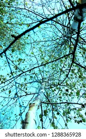 Birch trees with blu sky background. Nature