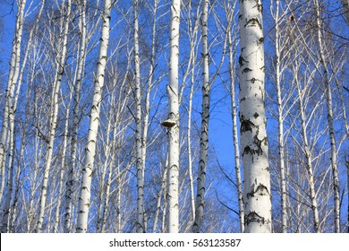 Birch trees in bright sunshine / trunks of birch trees in birchwood