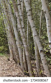 Birch trees clustered all in a row