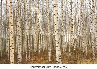 Birch Trees in Finland