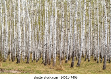 Birch trees forest grass early spring landscape forest area.