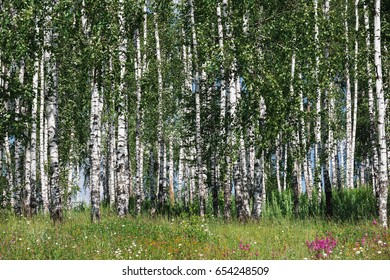 birch trees and green grass texture at the summer