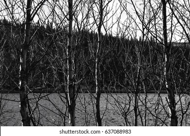 Birch Trees with lake in the background