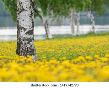 Birch trees in the midst of blossoming dandelions in Oulu, Northern Finland.