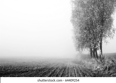 birch trees in misty morning field in black and white