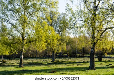Birch trees with new fresh leaves by spring season
