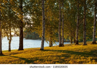 Birch trees at park and sunset light