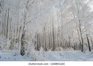 Birch trees park in winter snow