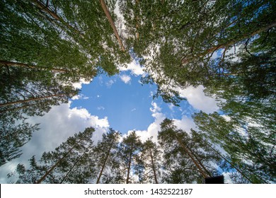 Birch trees photographed on night with 10mm wide angle lens straigh up towards blue sky with white clouds