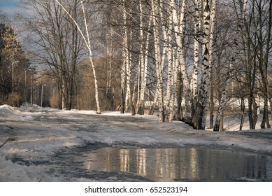 Birch trees reflected in spring pools in a Sunny day