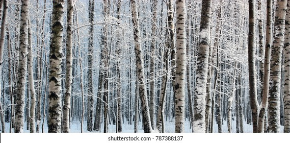Birch trees in snow-covered winter wood