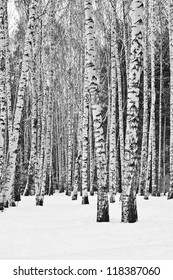 Birch trees in a snowy forest in black and white