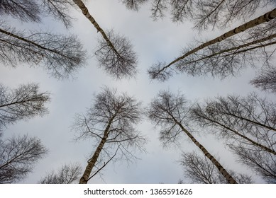 birch trees in spring. mass of trunks on green background