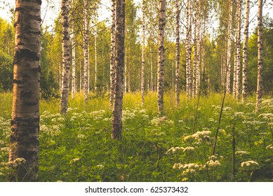 Birch trees in the summer in Finland.
