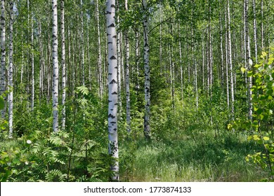 Birch trees in a summer forest in morning sunlight