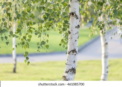 Birch trees in summer in the park