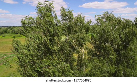 Birch trees sway from a strong wind. Aerial shot. Deciduous trees during a storm.