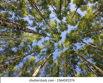 Birch trees top view from below. Tree crowns with young green foliage from below. Tree trunks looking up on the blue sky background.