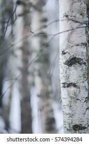 birch trees in winter forest