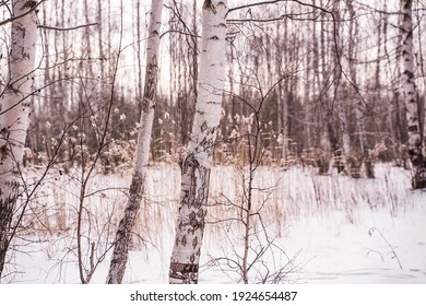 birch trees in the winter forest against the background of reeds covered with snow