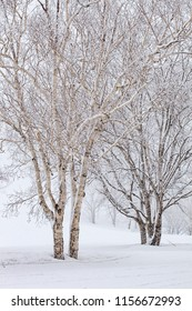 Birch trees in a winter landscape.