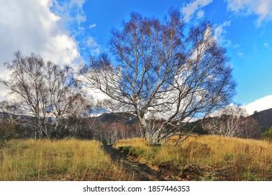 Birken Bäume im Winter auf dem Ätna in Sizilien.