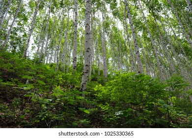 birch trees in Wondae-ri, Gangwon-do, Korea
