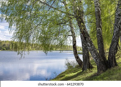 Birch trees with young foliage on the edge of the lake on a spring day