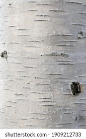 Birch trunk close-up. Natural texture of white birch bark. Frost is visible on the surface of the tree.