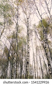 Birch trunks in Dwingelderveld, the Netherlands