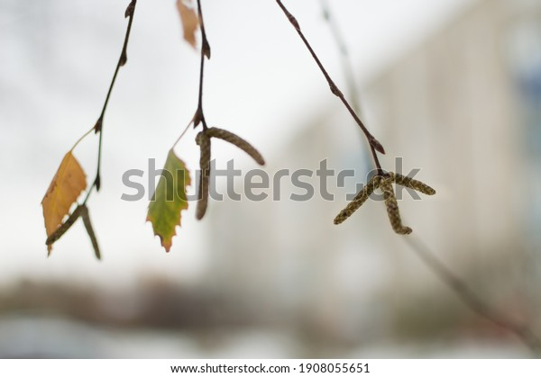 birch-twigs-green-yellow-single-600w-190