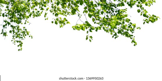 Birch twigs with the young green leaves hang down isolated on white. Natural birch background located on top of the picture.