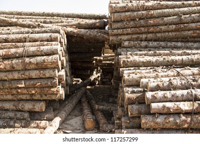 Birch Wood Logs in Forest Ready for Transport
