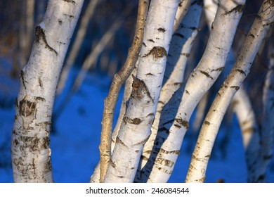 the birch wood in snow in the winter
