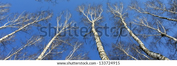 Birch wood in spring against the blue sky