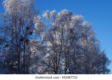 Birches covered with Snow
