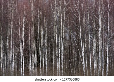 Birches with dark snow clouds in the winter in National Park Bialowieza, Poland.