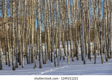 Birches in the forest in winter on a Sunny day