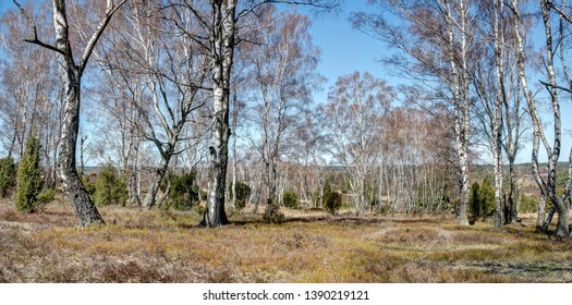 Birches in the Lüneburg Heath have a special magic and offer the hiker with his white trunks a dreamlike sight. Birches can grow up to 30 meters tall and 120 years old.