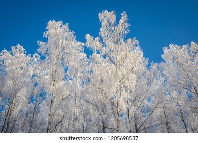 birches turned white because of hoarfrost