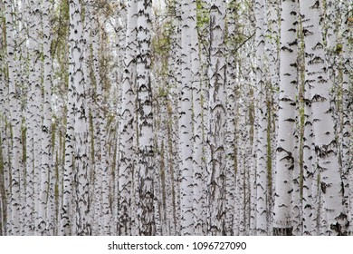 birches without leaves, white trees
