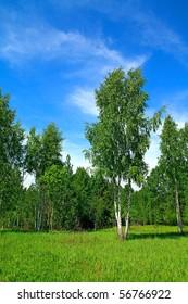 birches in wood