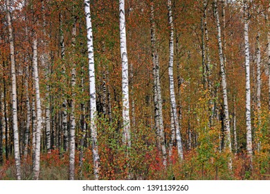 Birches in yellow autumn birch forest in october among other birches in birch grove