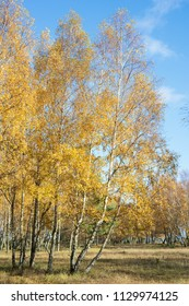 Birches with yellow leaves in autumn