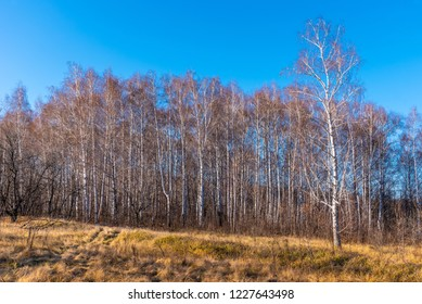 Birchwood - beautiful autumn landscape with yellow dry grass