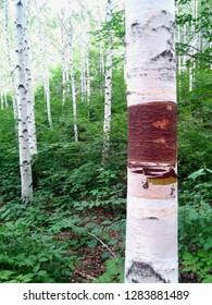birchwood in the birch forest