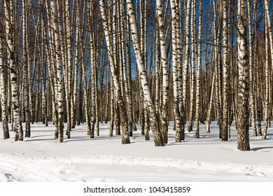 Birchwood covered with snow in clear winter day