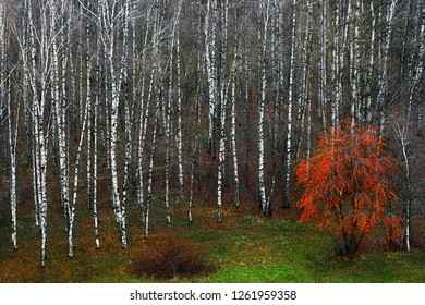 Birchwood in the fall. Moscow, Russia. Many white trunks of birches and a lonely tree with a red crown. Fallen leaves on the grass. Beautiful autumn forest in November.